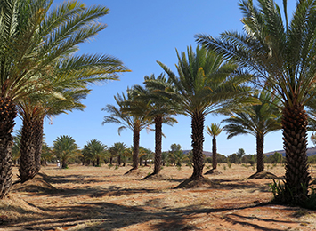 Date Palms Alice Springs