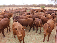 2018 branded steers prepared for the premium beef market, May 2020