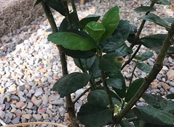 New citrus canker detection in Durack