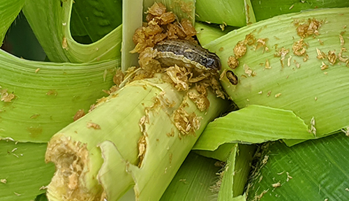 Fall armyworm detected in the Northern Territory