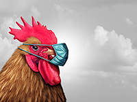 Rooster with face mask