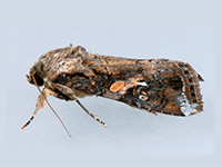 Fall armyworm adult male in resting position ©Mark Dreiling/Bugwood.org - CC BY-NC 3.0 USBY 3.0 US