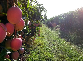 Get the best out of your mango research