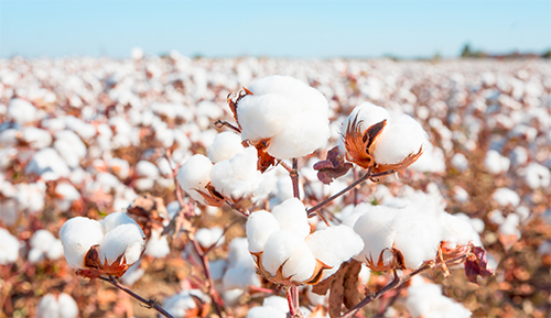 Sustainable development of a modern cotton industry