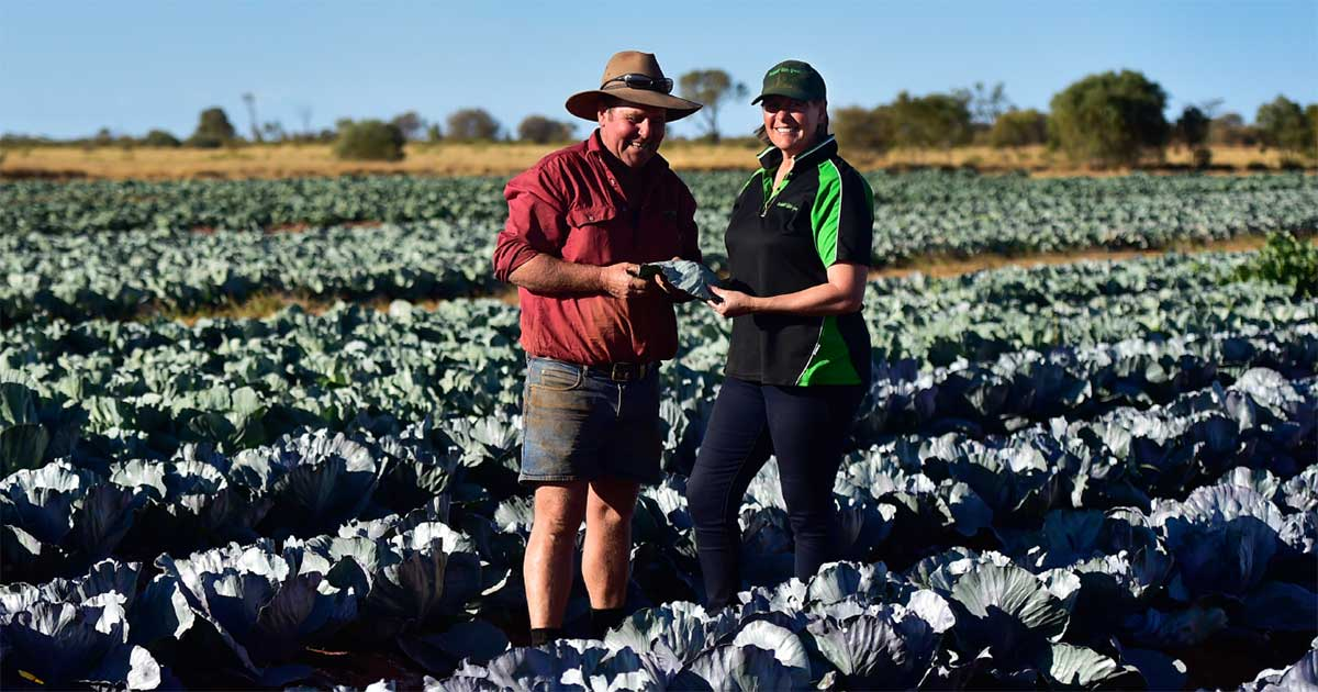 Two people in paddock of cabbages