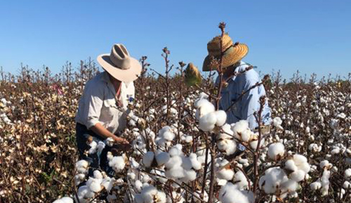 Commercial cotton crops for Katherine