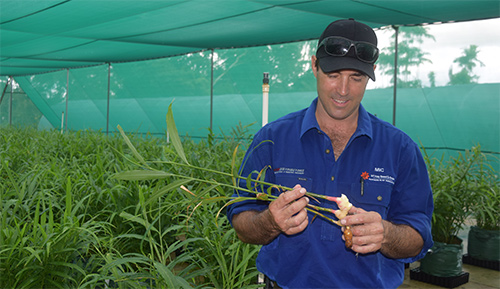 Local ginger trial delivering promising results