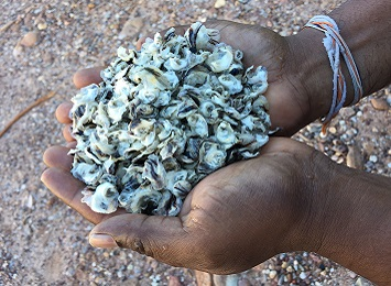 Developing a tropical rock oyster industry on South Goulburn Island